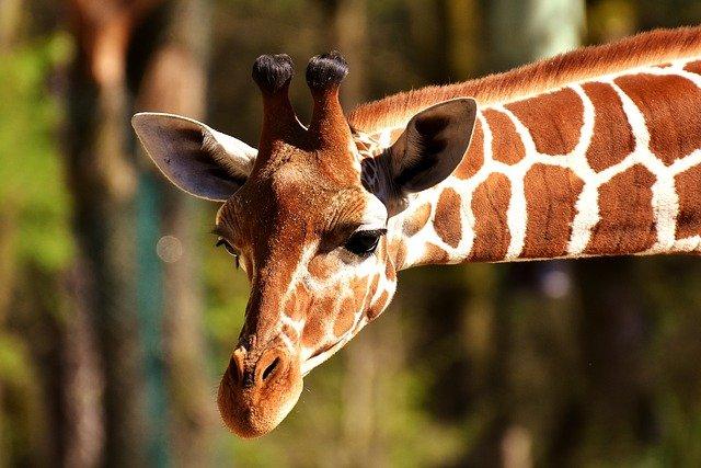 žirafa.jpg