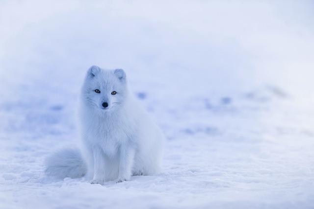 Líška polárna.jpg